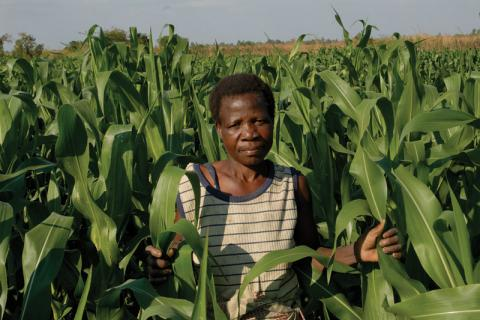 Malawi has gone from bountiful maize crops to renewed uncertainty