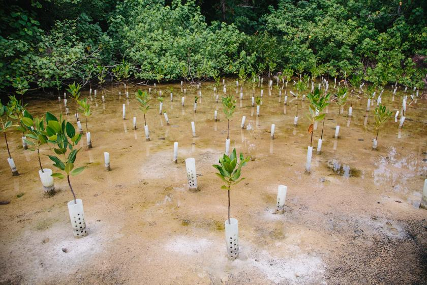Beyond adaptation, planting mangroves also tackles the causes of climate change, as these forests absorb 10 times more carbon dioxide per acre per year than rainforests. Photo by UN Environment Programme / Aidan Dockery
