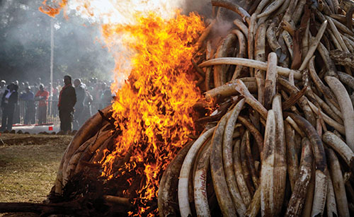 Fifteen tons of elephant tusks were set on fire during an anti-poaching ceremony in Nairobi, Kenya, early this year.  AP Photo-Khalil Senosi