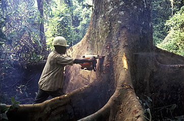 AMan cutting down tree