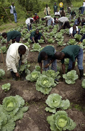 Former combatants learning basic farming skills in Liberia