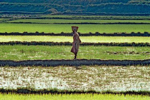 Rice farming in Madagascar