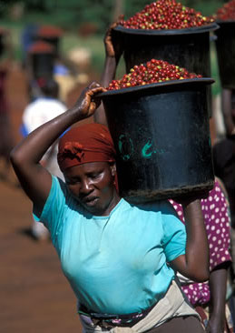 Coffee pickers in Kenya
