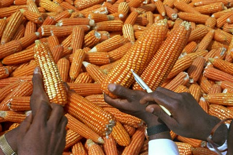 Examining high-quality corn for future cultivation in Cameroon
