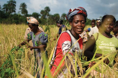 HArvesting rice in Liberia