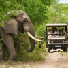 Elephant about to cross the road in front of a game drive in Kruger National Park. Photo: South Africa Tourism