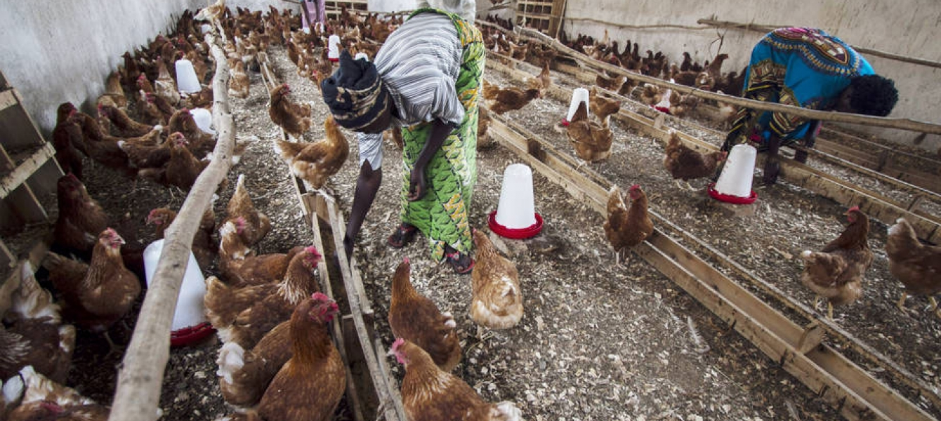 For the first time since 2006, the H5N1 bird flu virus has been found in Cameroon, putting the number of countries in the region who have battled the virus at six. Photo: FAO/Isaac Kasamani