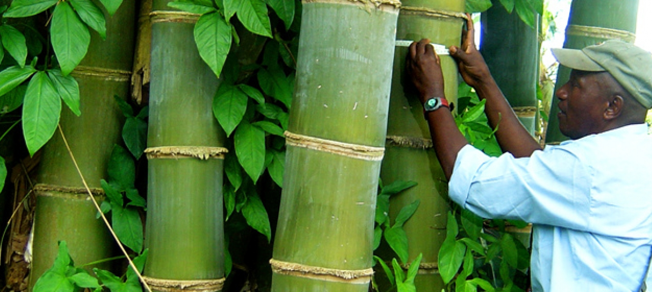 A farmer measuring the thickness of a bamboo tree in Madagascar. Photo: INBAR/Lou Yiping