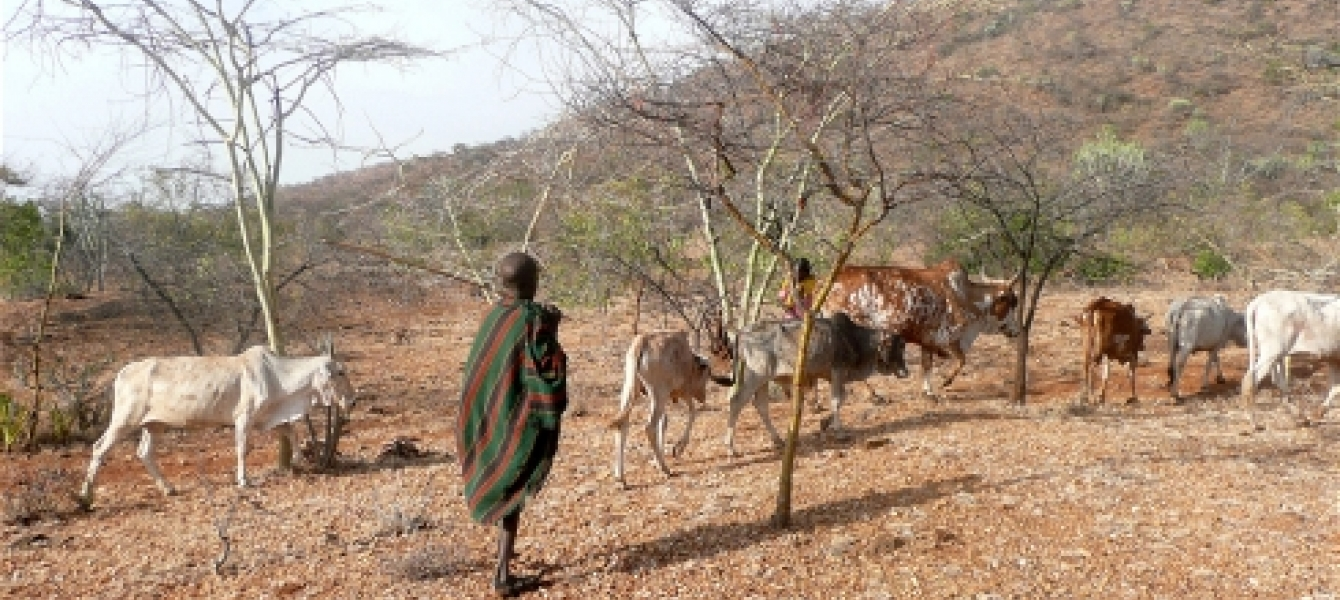 Cattle can be more resilient than crops. Photo: www.karamoja.eu