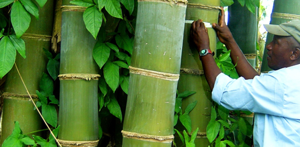 Bamboo: Africa's untapped potential | Africa Renewal