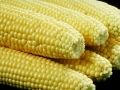 GMO maize... could soon be popular in African countries.  Photo: Saravanakumar Muthusamy