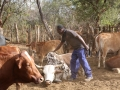 Cattle farmer Msinanga produces supplemental feed for his cattle in Zimbabwe.