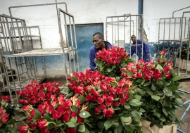A worker moves boxes of roses from a trolley at the Maridadi commercial flower farm in Naivasha, Kenya. Photo: Panos/Sven Torfinn