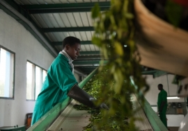 Working towards sustainable development means that communities such as the people in Kitabi, Rwanda get to enjoy the fruits of globalization. Workers in Kitabi  Tea Processing Facility process 48 000 tons of green leaf per day for export.