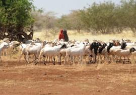 Girls herdng goats in Somalia where in certain areas drought has contributed to severe water shortages and livestock deaths. Photo: FAO/Simon Maina