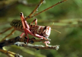 Locusts can devastate crops and pastures.