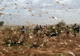 A swarm of desert locusts fill the sky near a farm.