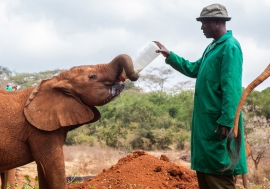 Rescued orphan elephants at David Sheldrick Wildlife Trust in Kenya.