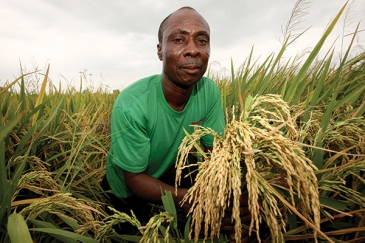 Rice farmer shows his rice crop which is ready for harvesting. Photo: Panos/George Osodi