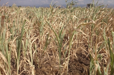 Failed sorghum crop, as the current El Niño pattern, being the strongest ever recorded, has caused severe drought in Ethiopia. Photo: UNOCHA Ethiopia/Lemma Tamiru