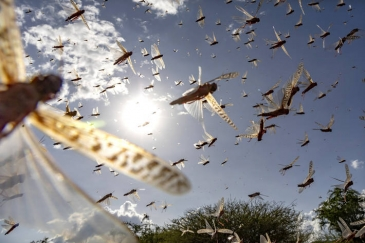Swarm of Desert Locusts in Isiolo County in Kenya