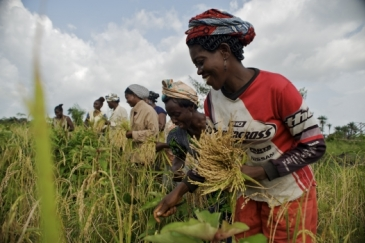 Women harvesting rice in Carysburg, Liberia.  Photo: Panos/Aubrey Wade