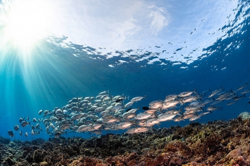 A school of Travally fish in the Solomon Islands