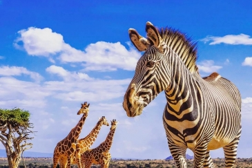 A zebra and three giraffes