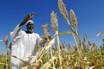 Harvesting sorghum in Sudan