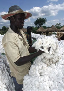 Photo: Picking cotton in C'ote d'Ivoire