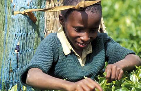 boy harvesting tea leaves in Kenya
