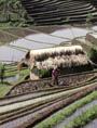 Farming for Development Rice Fields in Indonesia (UN Photo/Ray Witlin)