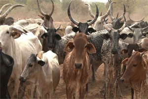 A herd of cattle with long horns is pictured.