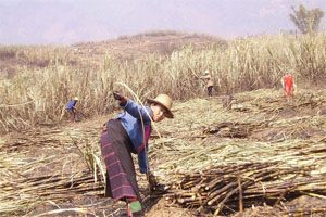 An older woman wearing a straw hat bends over in a sugarcane plantation. There are several people working behind her in the photo. There is a hill in the distance and a sugarcane plantation.
