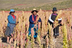 Three older women stand in a quinoa crop. They are all wearing broad brimmed hats, and are carrying their produce.
