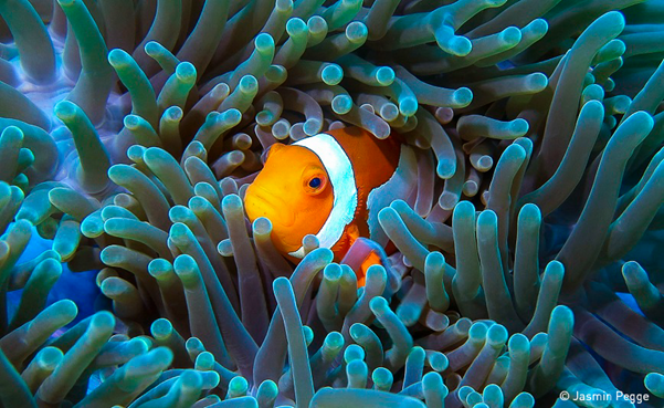 Clown fish in anemone, Photo: Pegge, UN World Oceans Day Photo Competition