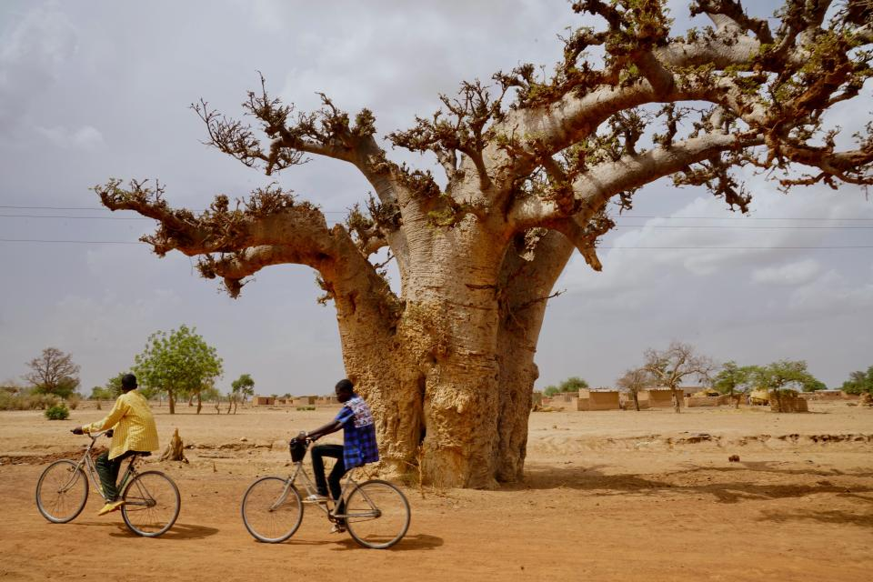 Two cyclists ride by a baobab tree in rural Northern Burkina Faso
