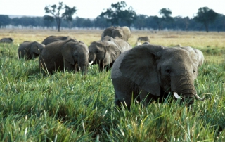 Elephants roaming