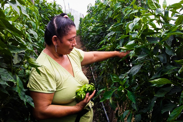 A woman picking peppers.