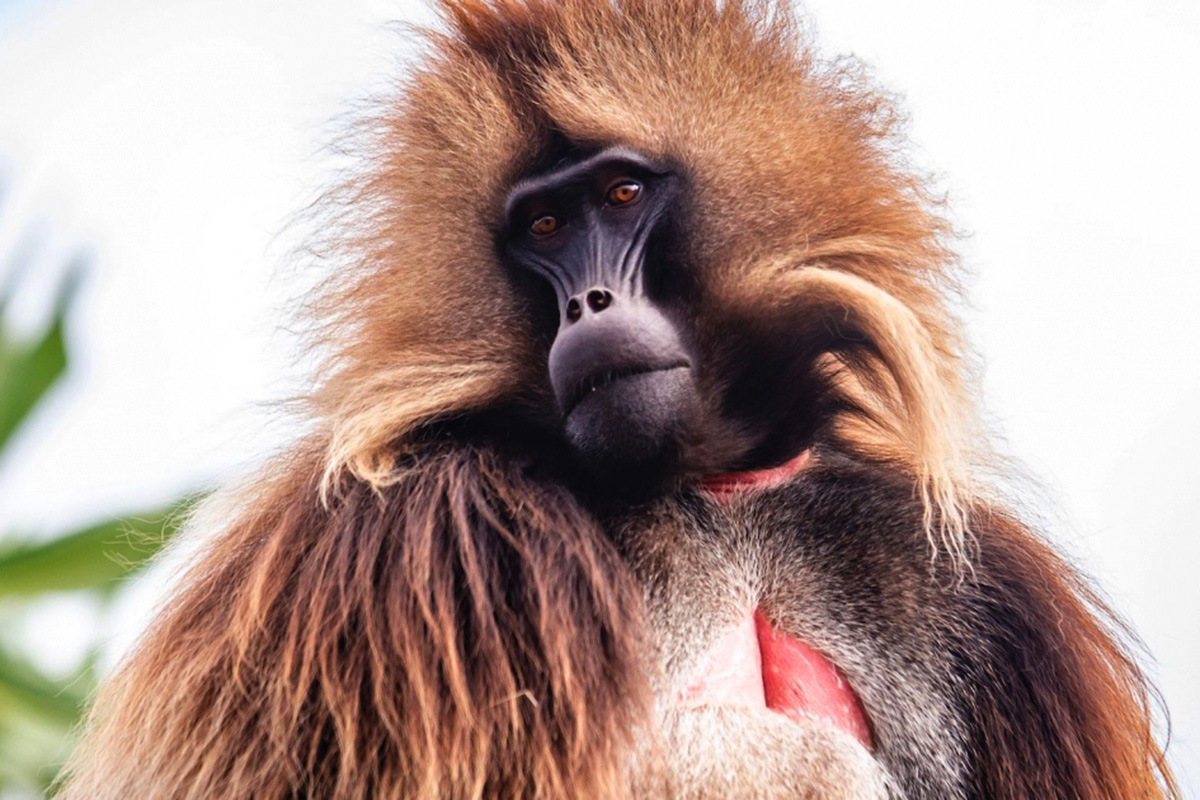 Close-up of a Gelada monkey from the Ethiopian highlands.