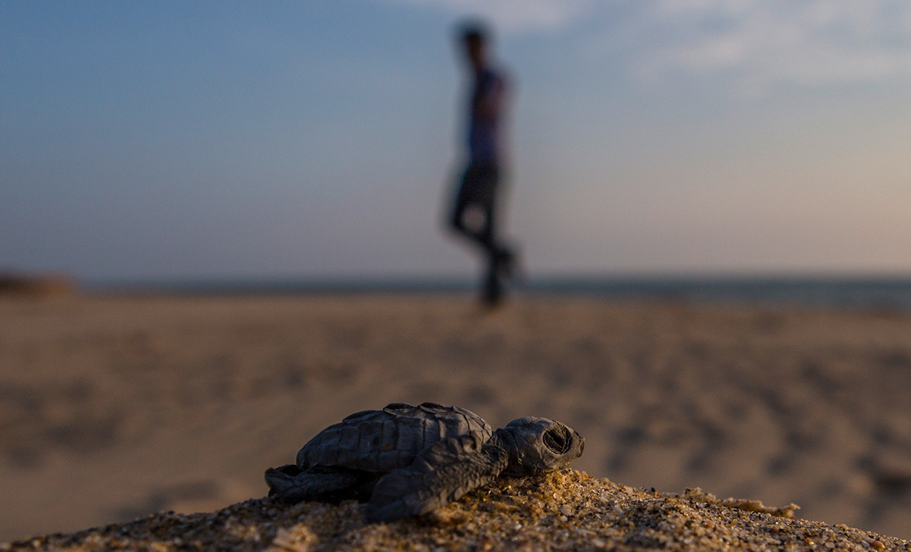 baby turtle resting on the sand and a blurry human silhouette in the background