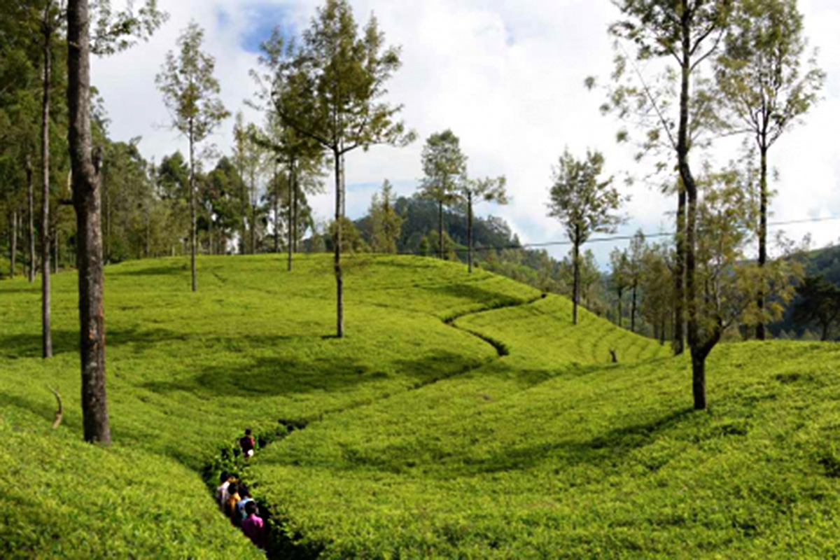 Rolling hills with tea plants.