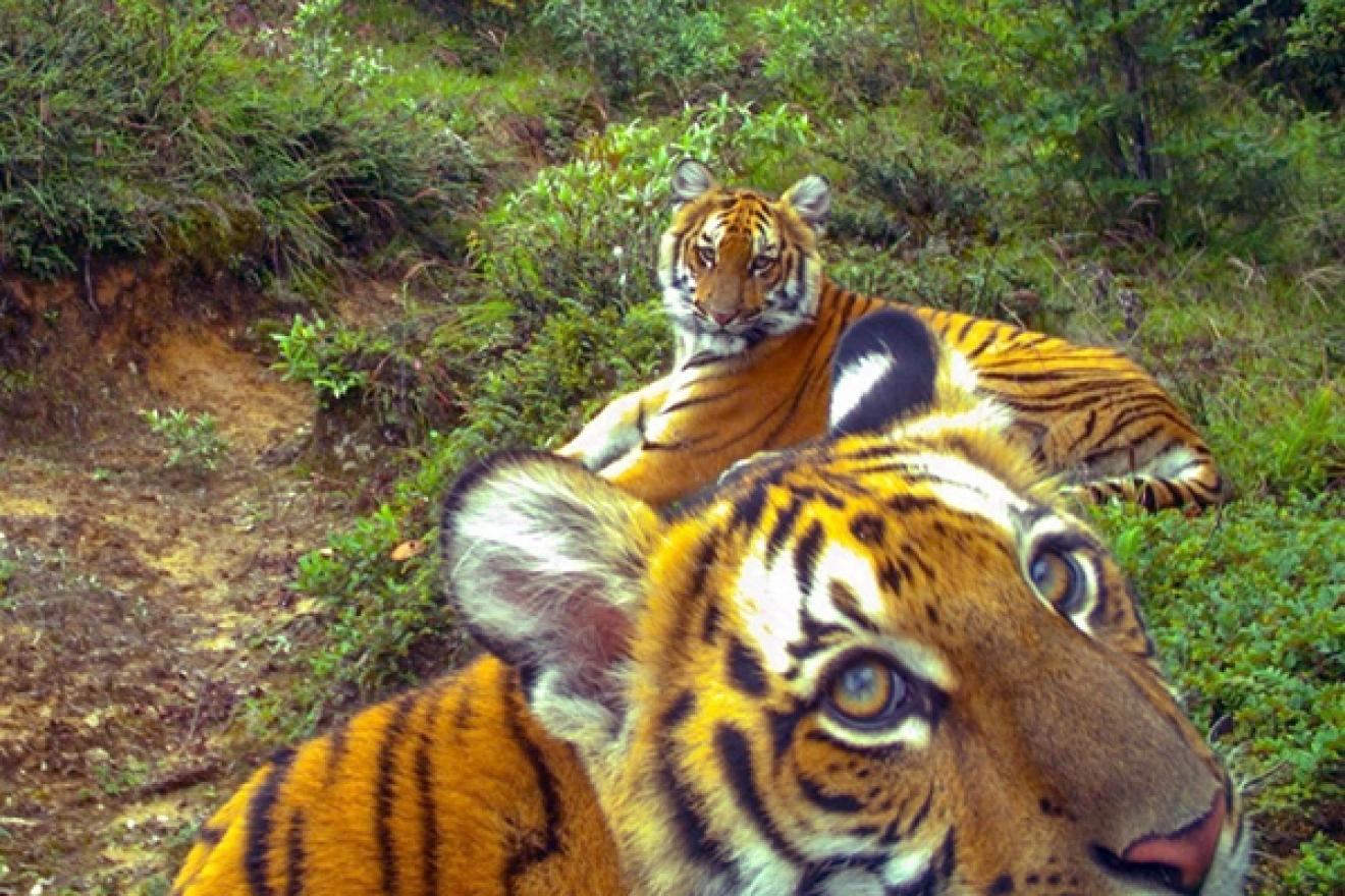 Close-up of two tigers