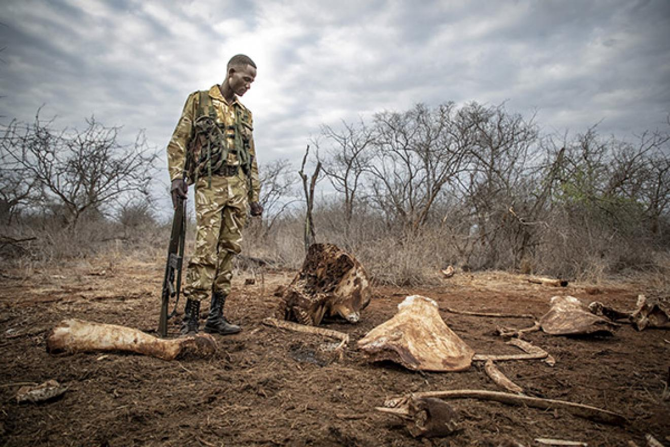 a ranger in Kenya looks at evidence of poaching
