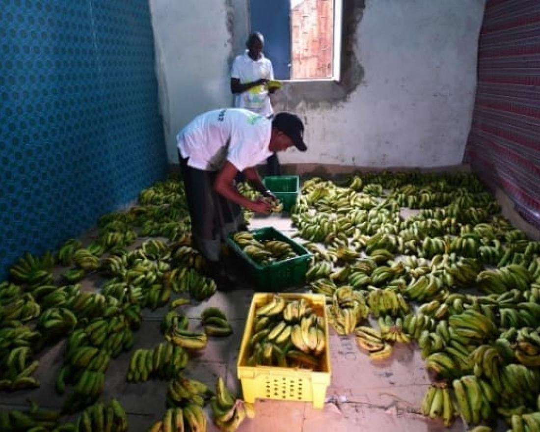 Cove image of workers preparing bananas to be distributed in Mogadishu