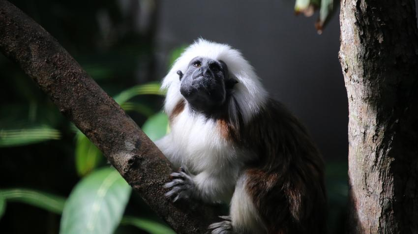 The cotton-top tamarin, one of the smallest primates, is found in northwestern Colombia. Photo: cuatrok77