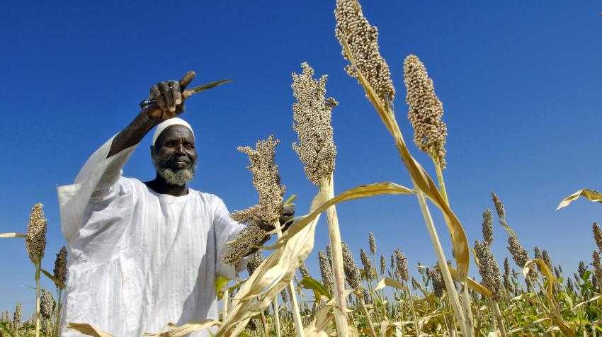 A local Sudanese farmer harvests seeds from the field.