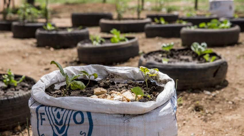 A school garden in South Sudan where food crops are being cultivated as part of a project.