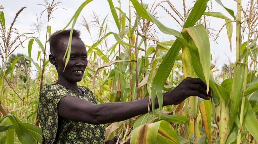 A South Sudanese woman is getting crops from a field.