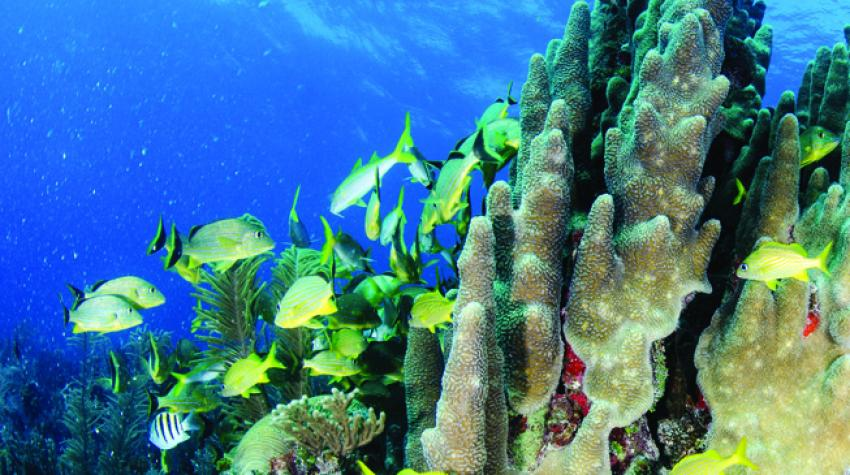 Schooling French grunts, surrounding pillar coral in the Bloody Bay Marine Park on Little Cayman. ©Diana Schmitt